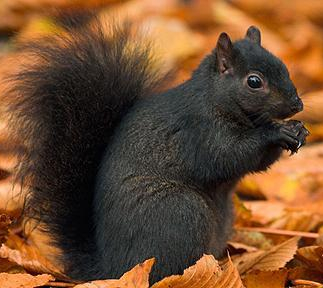 A1FN14 / Black Squirrel